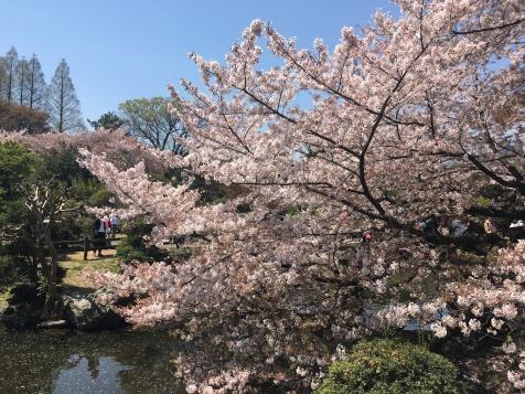 Sakura Flowers over a river!