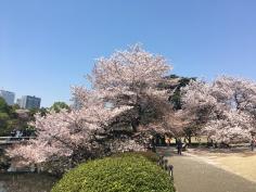 Sakura Flowers over a path!