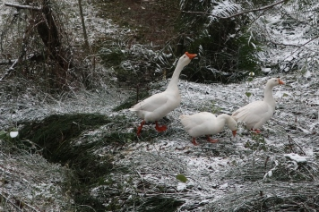 Geese sighting